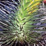 Glowing Silversword