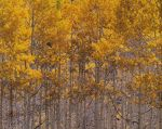Golden Aspens and Sunlight
