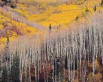 Fairview Mountain Aspens