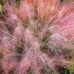 Pink Grasses and Dewdrops