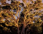 Sunset, Native Koa Trees