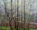 Dogwoods, Forest and Mist