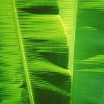 Green Banana Leaves