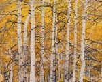 High Mountain Aspen