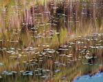 Sunrise, Wild Reeds and Waterlilies
