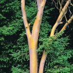 Madrone Trunks, Siskiyou Mountains