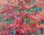 Cerise Red Maple