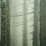 Mountain Firs and Fog